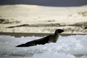 Phoque Groenland BrunoLetournel