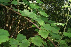 Vigne marronne Rubus alceifolius