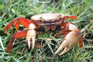 Crabe_Mangrove CDL