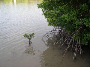 racines en échasse du palétuvier rouge Rhizophora mangle
