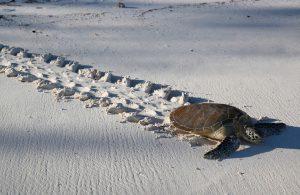 Chaque année, entre 2 000 et 11 000 tortues vertes viennent pondre sur les plages sableuses de l'île ©Lucia Simion