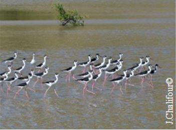 Les étangs accueillent de nombreux limicoles telles les échasses d'Amérique (Himantopus mexicanus) - avant Irma © Julien Chalifour, Réserve naturelle nationale de Saint-Martin